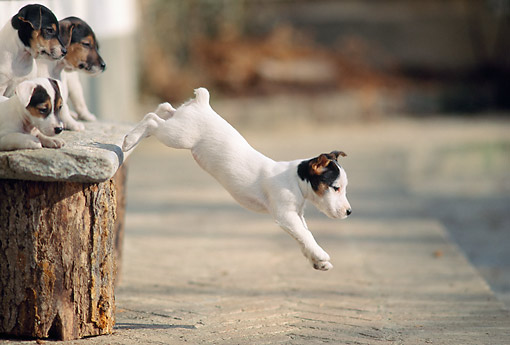PUP 14 AB0002 01 © Kimball Stock Jack Russell Terrier Puppies Jumping From Bench