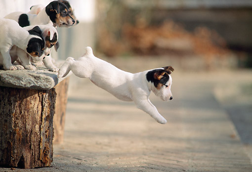 PUP 14 AB0003 01 © Kimball Stock Jack Russell Terrier Puppies Jumping From Bench