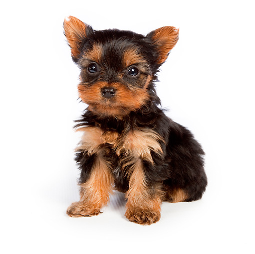 PUP 14 BK0004 01 © Kimball Stock Yorkshire Terrier Puppy Sitting On White Seamless