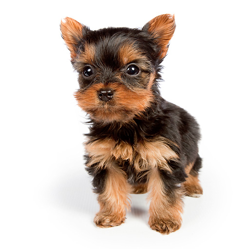 PUP 14 BK0005 01 © Kimball Stock Yorkshire Terrier Puppy Sitting On White Seamless