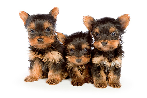 PUP 14 BK0006 01 © Kimball Stock Yorkshire Terrier Puppies Sitting On White Seamless