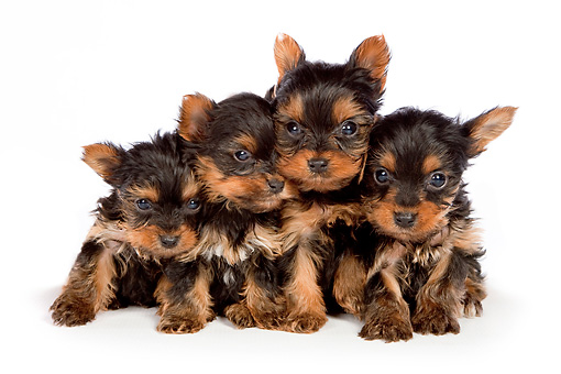 PUP 14 BK0008 01 © Kimball Stock Yorkshire Terrier Puppies Sitting On White Seamless