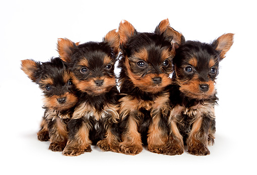 PUP 14 BK0009 01 © Kimball Stock Yorkshire Terrier Puppies Sitting On White Seamless