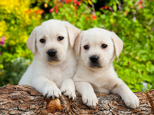 PUP 14 BK0013 01 © Kimball Stock Yellow Labrador Retriever Puppies Leaning On Log In Garden