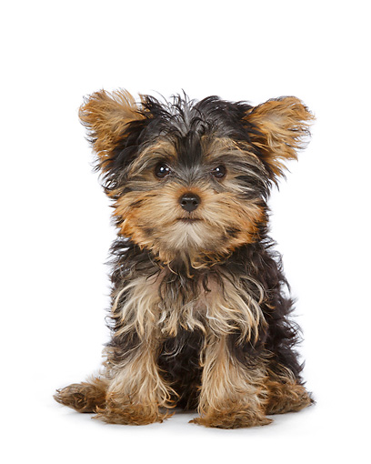 PUP 14 BK0014 01 © Kimball Stock Yorkshire Terrier Puppy Sitting On White Seamless