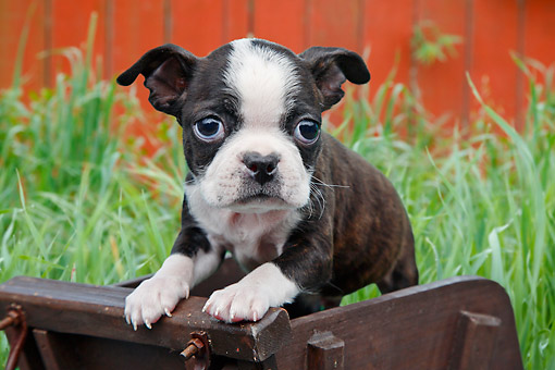 PUP 14 BK0015 01 © Kimball Stock Boston Terrier Puppy Standing In Miniature Wooden Wheelbarrow