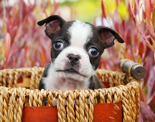 PUP 14 BK0016 01 © Kimball Stock Boston Terrier Puppy Sitting In Basket