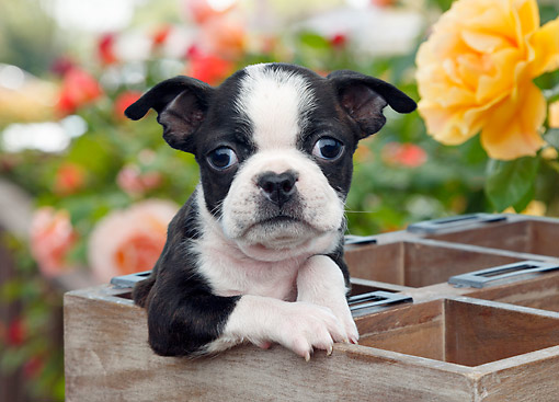 PUP 14 BK0017 01 © Kimball Stock Boston Terrier Puppy Sitting In Planter Box In Garden