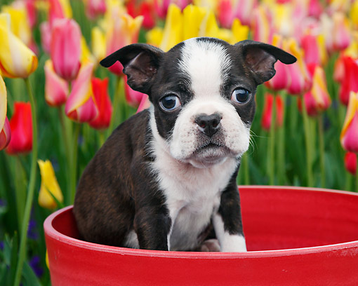 PUP 14 BK0022 01 © Kimball Stock Boston Terrier Puppy Sitting In Flower Pot By Tulips