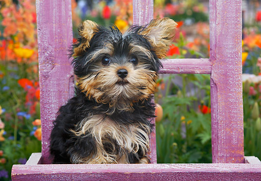PUP 14 BK0025 01 © Kimball Stock Yorkshire Terrier Puppy Sitting On Purple Chair In Garden