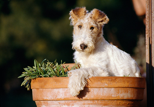 PUP 14 CB0008 01 © Kimball Stock Fox Terrier Puppy Sitting In Planter