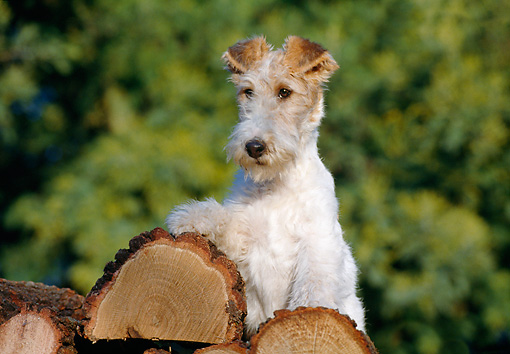 PUP 14 CB0009 01 © Kimball Stock Fox Terrier Puppy Sitting On Log Pile