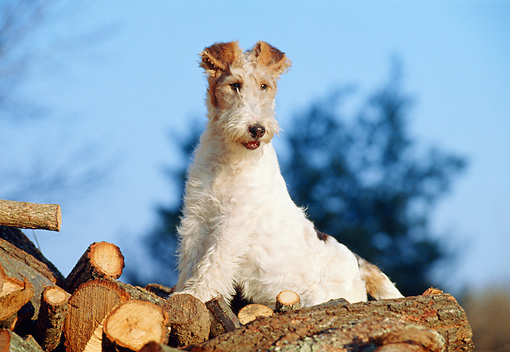 PUP 14 CB0010 01 © Kimball Stock Fox Terrier Puppy Sitting On Log Pile