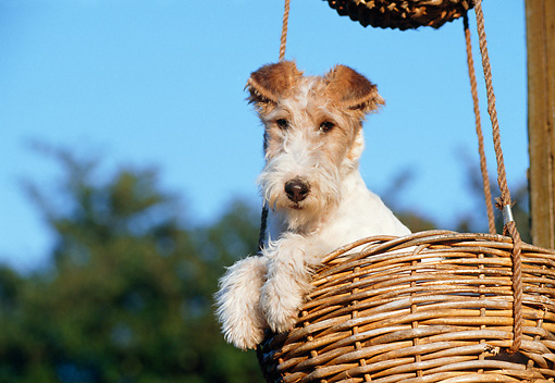 PUP 14 CB0011 01 © Kimball Stock Fox Terrier Puppy Sitting In Wicker Basket