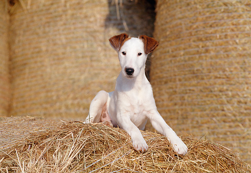 PUP 14 CB0012 01 © Kimball Stock Smooth Fox Terrier Puppy Laying On Hay Bale