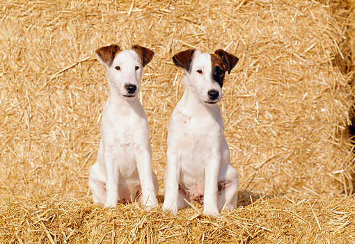 PUP 14 CB0013 01 © Kimball Stock Two Smooth Fox Terrier Puppies Sitting On Hay Bale