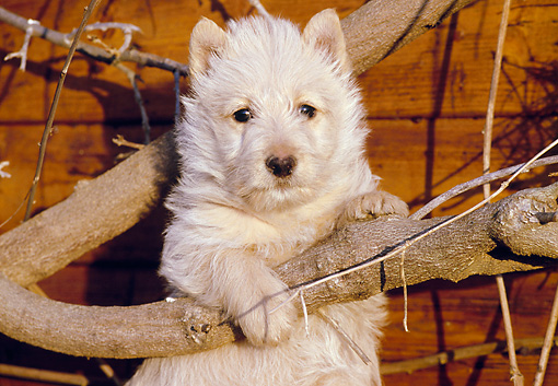 PUP 14 CB0017 01 © Kimball Stock Scottish Terrier Puppy Leaning On Branch