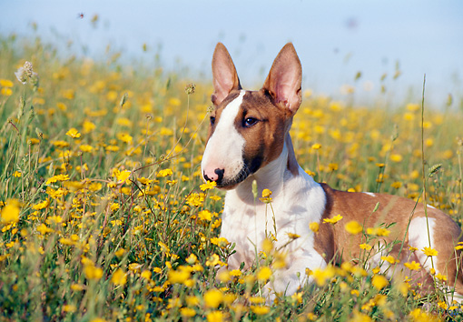 PUP 14 CB0018 01 © Kimball Stock Bull Terrier Puppy Laying In Field Of Yellow Wildflowers