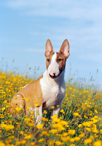 PUP 14 CB0019 01 © Kimball Stock Bull Terrier Puppy Sitting In Field Of Yellow Wildflowers