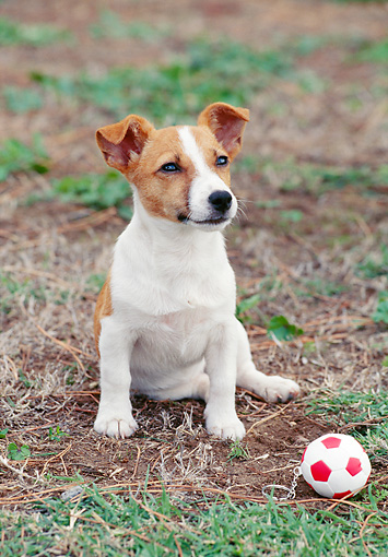 PUP 14 CB0020 01 © Kimball Stock Jack Russell Terrier Puppy Sitting On Grass By Toy Soccer Ball
