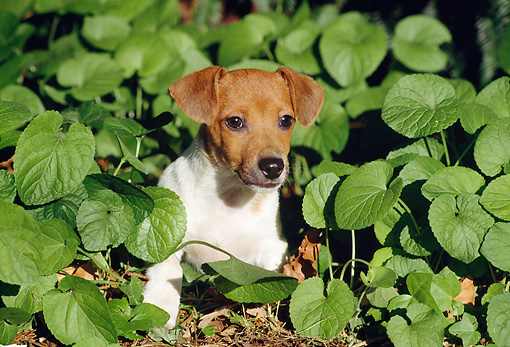 PUP 14 CB0022 01 © Kimball Stock Jack Russell Terrier Puppy Sitting In Vegetation