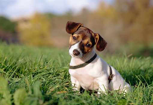PUP 14 CB0023 01 © Kimball Stock Jack Russell Terrier Puppy Sitting In Grass