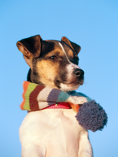 PUP 14 CB0024 01 © Kimball Stock Portrait Of Jack Russell Terrier Puppy Wearing Scarf