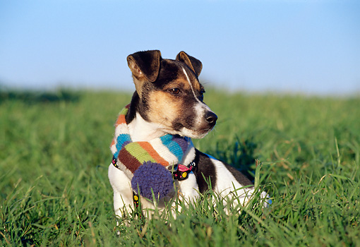 PUP 14 CB0025 01 © Kimball Stock Jack Russell Terrier Puppy Sitting In Grass Wearing Scarf