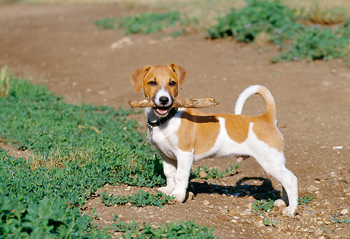 PUP 14 CB0027 01 © Kimball Stock Jack Russell Terrier Puppy Standing On Dirt With Stick