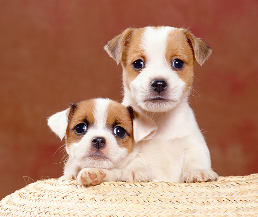 PUP 14 CB0028 01 © Kimball Stock Two Jack Russell Terrier Puppies Sitting In Basket