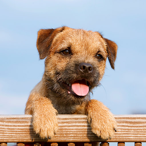 PUP 14 CB0029 01 © Kimball Stock Border Terrier Puppy Leaning On Railing
