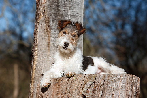 PUP 14 CB0030 01 © Kimball Stock Fox Terrier Puppy Laying On Stump
