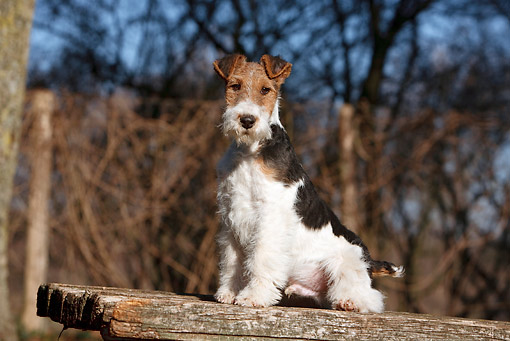 PUP 14 CB0031 01 © Kimball Stock Fox Terrier Puppy Sitting On Wooden Bench