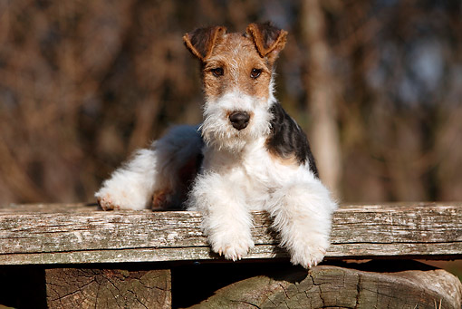 PUP 14 CB0032 01 © Kimball Stock Fox Terrier Puppy Laying On Wooden Bench