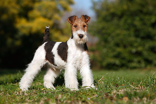 PUP 14 CB0033 01 © Kimball Stock Fox Terrier Puppy Standing On Grass