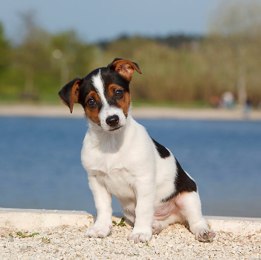 PUP 14 CB0034 01 © Kimball Stock Jack Russell Terrier Puppy Sitting On Gravel By Water