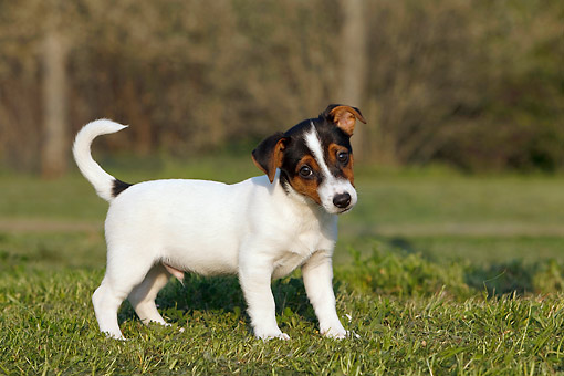 PUP 14 CB0037 01 © Kimball Stock Jack Russell Terrier Puppy Standing On Grass