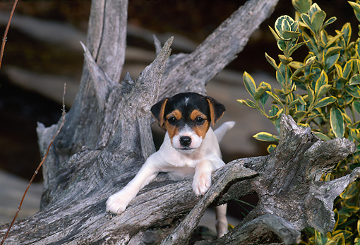 PUP 14 CE0123 01 © Kimball Stock Jack Russell Terrier Puppy Climbing On Log