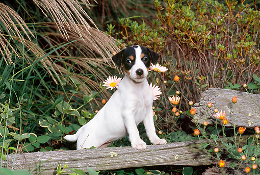 PUP 14 CE0124 01 © Kimball Stock Jack Russell Terrier Puppy Standing On Log By Daisies