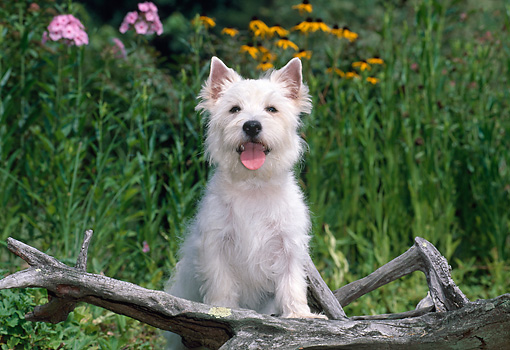 PUP 14 CE0125 01 © Kimball Stock West Highland Terrier Puppy Leaning On Log In Garden