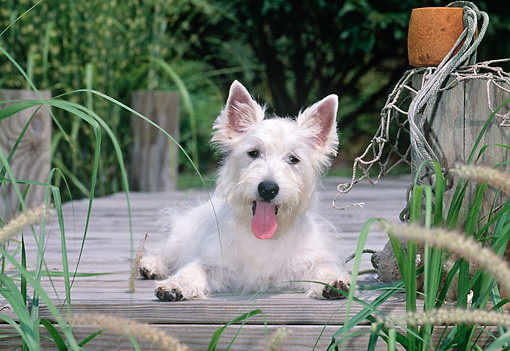 PUP 14 CE0126 01 © Kimball Stock West Highland Terrier Puppy Laying On Wooden Dock