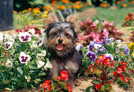 PUP 14 CE0130 01 © Kimball Stock Yorkshire Terrier Puppy Sitting In Garden