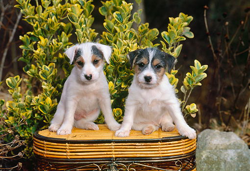 PUP 14 CE0132 01 © Kimball Stock Two Jack Russell Terrier Puppies Sitting On Basket