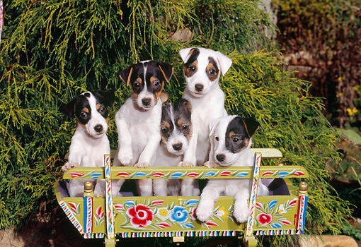PUP 14 CE0133 01 © Kimball Stock Jack Russell Terrier Puppies Sitting In Cradle With Floral Design