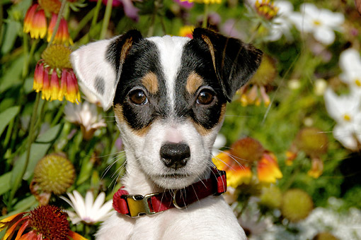 PUP 14 DB0001 01 © Kimball Stock Jack Russell Terrier Puppy Portrait By Flowers