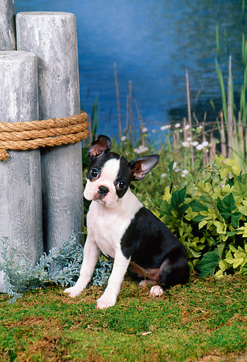 PUP 14 FA0032 01 © Kimball Stock Boston Terrier Puppy Sitting On Moss By Shrubs