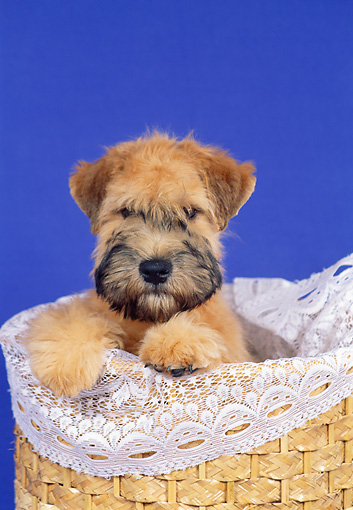 PUP 14 FA0033 01 © Kimball Stock Soft Coated Wheaten Terrier Puppy Sitting In Basket