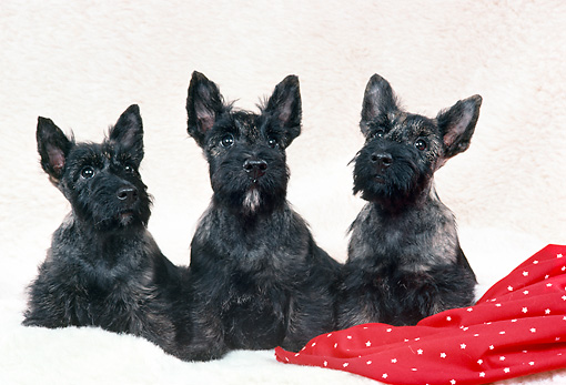 PUP 14 FA0034 01 © Kimball Stock Three Scottish Terrier Puppies Sitting By Red Cloth