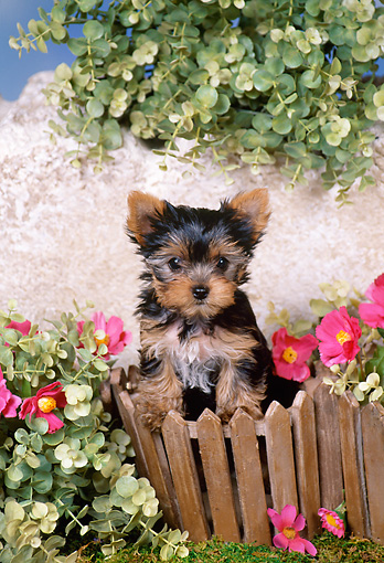 PUP 14 FA0036 01 © Kimball Stock Yorkshire Terrier Puppy Standing By Fence And Pink Flowers