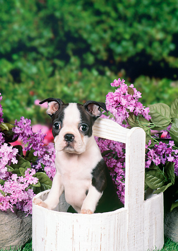 PUP 14 FA0037 01 © Kimball Stock Boston Terrier Puppy Sitting In Wooden Bucket By Pink Flowers